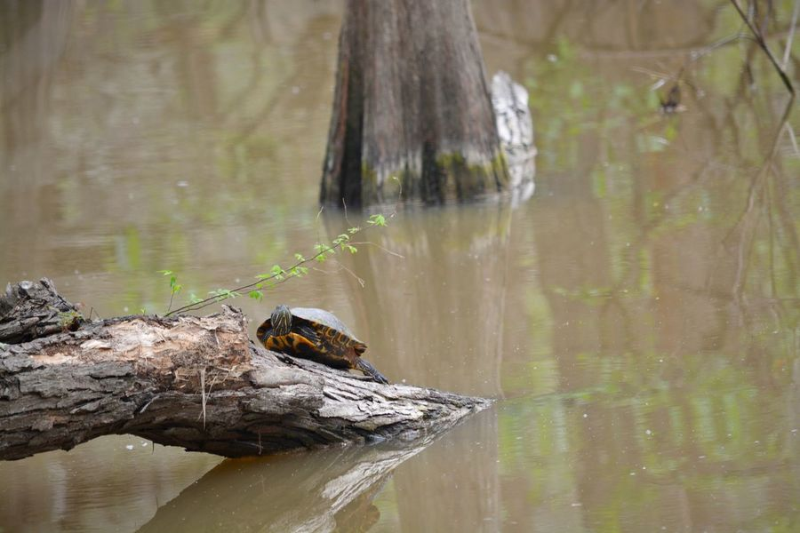 Turtle on a long in a pond Water Pond Turtle EyeEm Selects Water Animal Wildlife Animal Themes Animal One Animal Animals In The Wild Outdoors Day Tree Nature Reflection Wood - Material