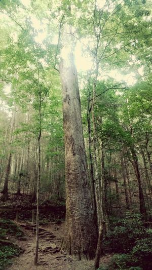 Land mark 1 Gennettpoplar Bigtree Landmark History Hi! Hanging Out Taking Photos Check This Out That's Me Hello World Cheese! Relaxing Enjoying Life Bearcreek Nature Preserve Deadwoods Nature Summerrevied Georgia Love To Take Photos ❤