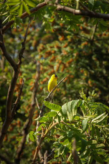 Animal Themes Animal Wildlife Animals In The Wild Beauty In Nature Bird Branch Close-up Day Green Color Growth Nature No People One Animal Outdoors Perching Tree Yellow
