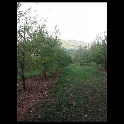 Apple Trees Drumhellersorchard Appleorchard Apple Samsung galaxy phone camera instagram