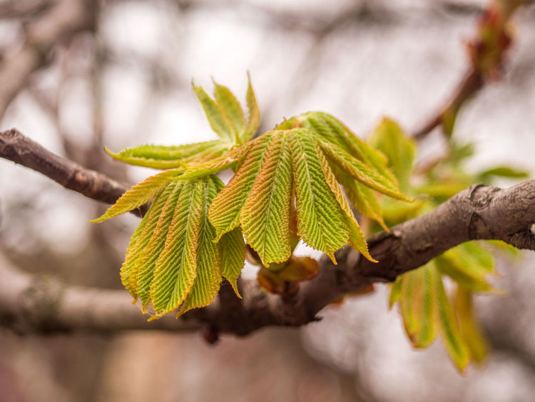 Blossoming Sheet Chestnut Leaf Chestnut Tree City Nature Crimea March Nature Nature Awakening Plant Sevastopol  Spring