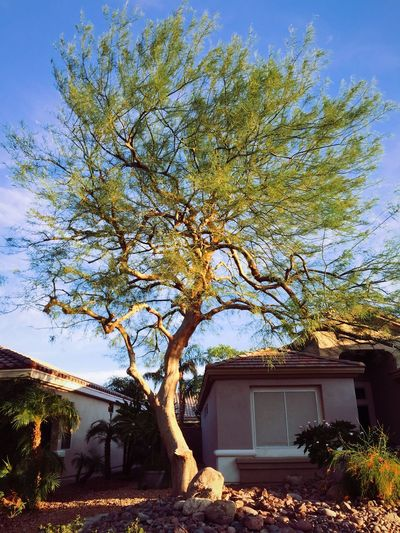 the morning tree Trees Tree Track Homes Suburbia Other Desert Cities Morning Morning Light
