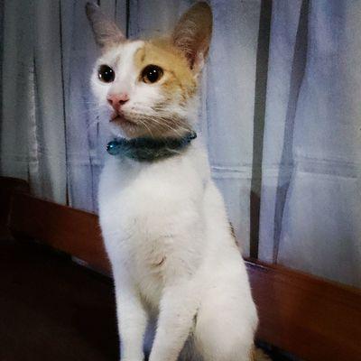Gizmo composure FelineDomesticus Meowpose