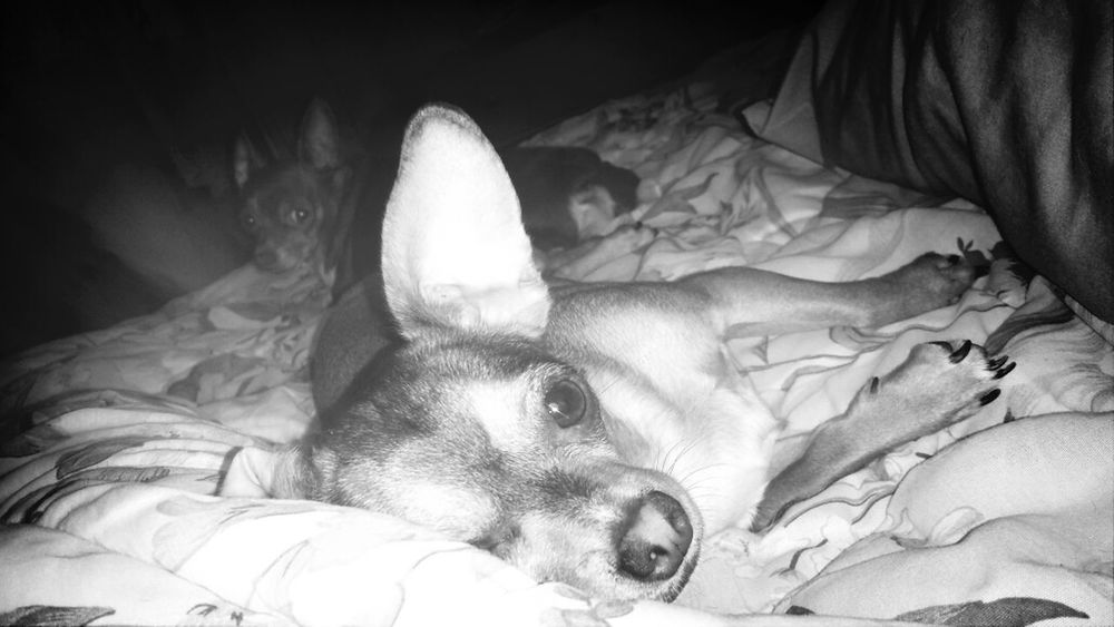 My precious babies!! ♥ ChihuahuasRatTerriers