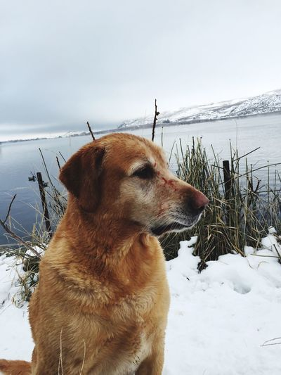 Winter Snow Cold Temperature Dog Weather Pets One Animal Domestic Animals Nature Animal Themes Outdoors Duck Hunting Hunting Blood Field Day Beauty In Nature Water Close-up Fetch Gun Mammal Sky No People Labrador EyeEmNewHere Pet Portraits