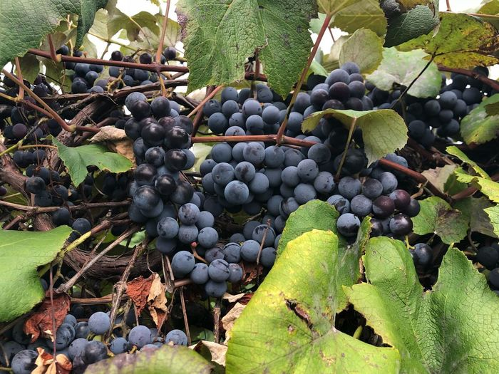 Grapes Fruit Healthy Eating Food And Drink Food Grape Vineyard Growth Freshness Nature Plant No People Leaf Day Wellbeing Bunch Winemaking Plant Part Red Grape