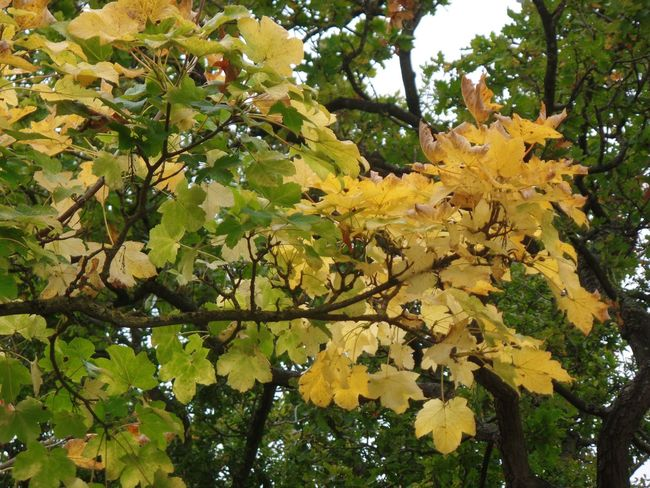 Photography Tree Leaves Nature Beauty In Nature Day Freshness Autumn Yellow Geeen Low Angle View Branch Leaves Changing Color