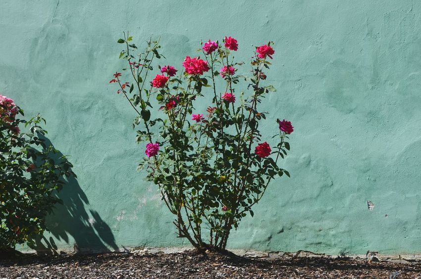 Beauty In Nature Day Flower Fragility Freshness Garden Green Green Wall Growing Growing Plants Growth Growth Nature No People Outside Pink Pink Flower Pink Rose Pink Roses Plant Roses Rose🌹 Tranquility Wall Wall - Building Feature