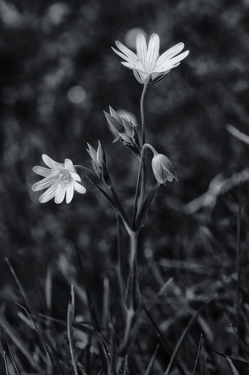 early spring Beauty In Nature Black & White Black And White Blackandwhite Blackandwhite Photography Close-up Day Flower Flower Head Fragility Freshness Growth Nature No People Outdoors Petal Plant Spring Spring Flowers Springtime