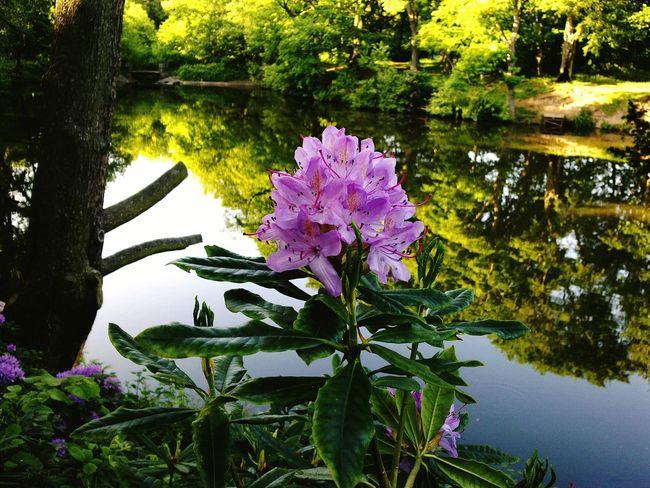 Rhododendron Arrowe Park Wirral Merseyside Arrowe Brook