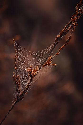 Close-up of dry leaf on spider web