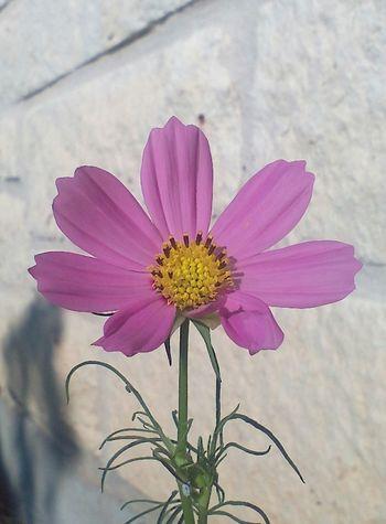Beautiful Beautiful Flaws Cosmos Cosmos Flower Deformation EyeEm Nature Lover Pink Beauty In Nature Beauty In Nature Blooming Deformed Flower Flower Collection Flower Head Nature Nature_collection Pink Flower Pinkfloyd