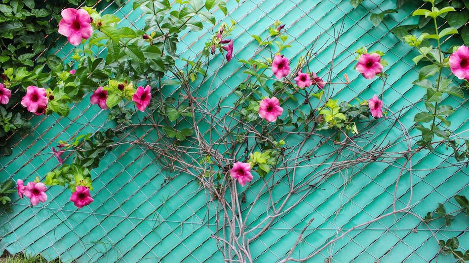 Flower Flower Head Leaf Pink Color Plant Green Color Blooming Blossom Periwinkle Plant Life Cherry Blossom Magnolia In Bloom Stamen Pollen Hibiscus Fruit Tree Cherry Tree Day Lily Rhododendron Bud Spring Pistil Botany Pink Petal Stem Apple Blossom