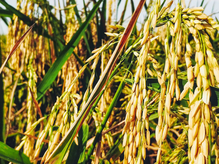 The Garden Sky Cloud Nature Photography Landscape Flowers,Plants & Garden Scenery Leaves Wonderful Indonesia Mobilephotography Bluesky Rice Paddy Ricefield Full Frame Close-up Plant Green Color Ear Of Wheat Growing Cultivated Land Agricultural Field Rice Paddy Plantation Crop  Barley Cereal Plant