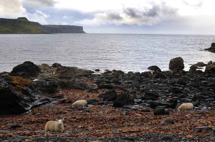 Sheep grazing on seaweed near Culnacnoc, Isle of Skye Beach Cloud Cloudy Coast Coastline Grazing Sheep Highlands Horizon Over Water Nature No People Remote Scotland Sea Seaweed Sheep Shore Sky Skye Tranquility Water