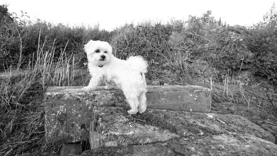 Mortimer de maltese Dog Pets Domestic Animals Maltese White Dog Maltese Dog