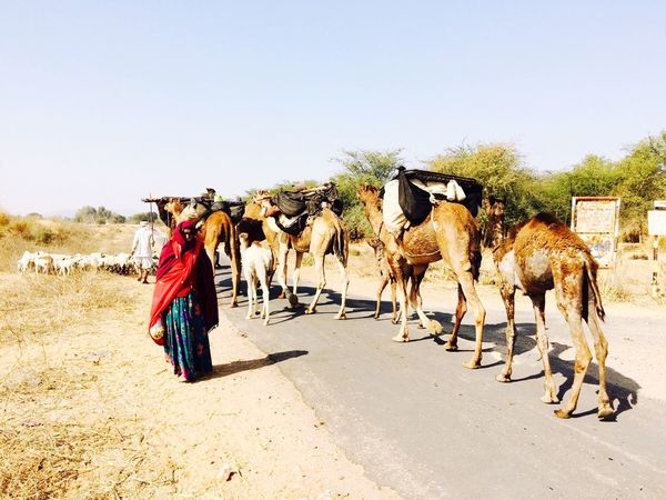 India Rajasthan Jaipur Rajasthani Culture Camels Camel Photography