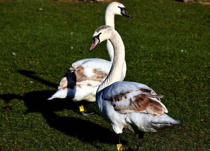 Mallard duck on field