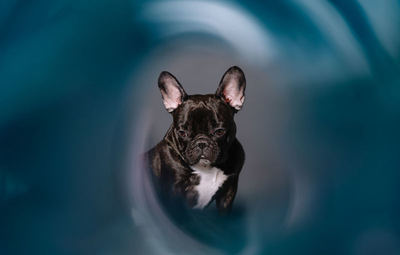 Close-up of a french bulldog dog on blue background