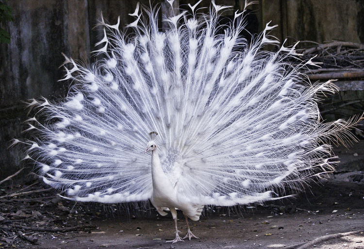 White peacock on field
