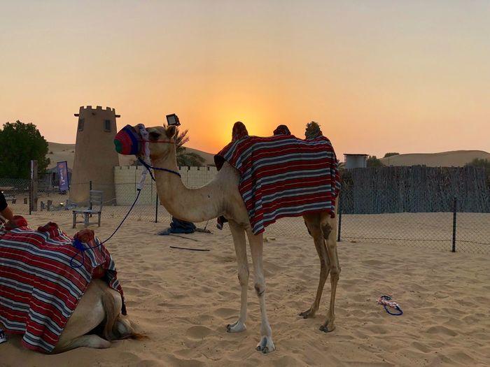Camel Sunset