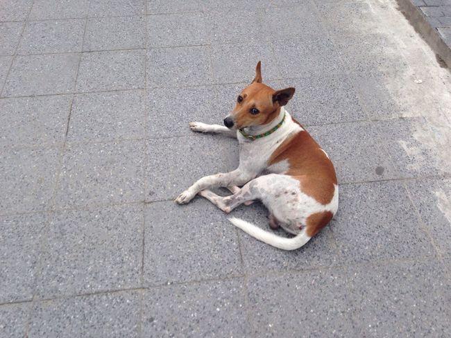Relax dog Rajchadumri Thai Street Dog Lumpini Bangkok White Dog Spot Brown On Street Afternoon Top Shot Starring At Thailand Walking Pass Street Shot