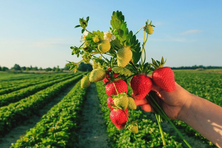 Strawberries Handpicked Field Country Landscape Human Hand Sunrise Spring