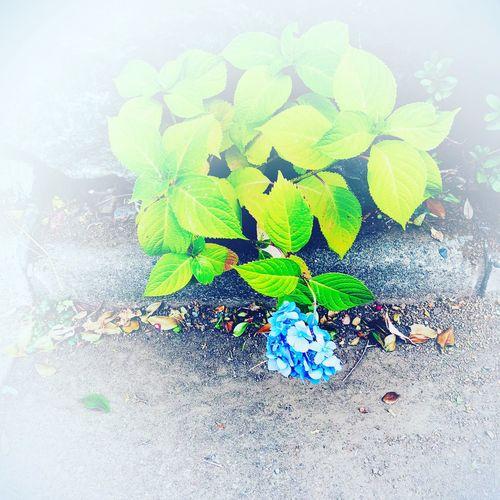 雨が間に合った紫陽花 原宿にて Hydrangea Tokyo,Japan Harajuku Streetphotography Tokyo Street Photography No Standard World Green Color Leaf Plant No People