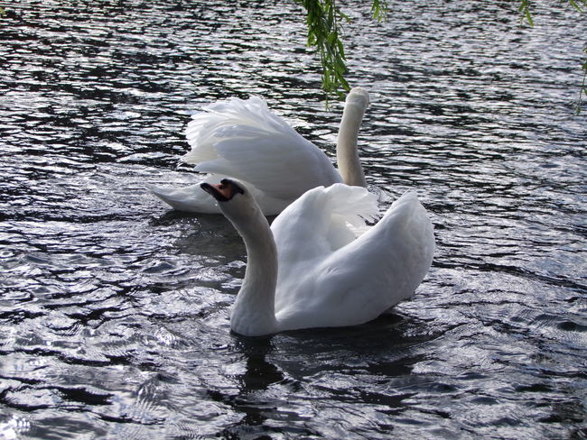 Swan fun Animal Themes Animals In The Wild Beak Beauty In Nature Bird Day Lake Nature Outdoors Rippled Swan Swimming Tranquil Scene Tranquility Water Water Bird Water Surface Waterfront White White Color Wildlife
