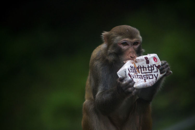 Monkey n Soymilk EyeEm Selects Discoverhongkong Greenery Hong Kong Wildlife Bokeh Animal Themes Animals In The Wild Nature National Geographic Natgeo Vitasoy Wilderness Simple Photography Baboon Communication Text Close-up Monkey Wild Animal Chimpanzee Animal Mouth