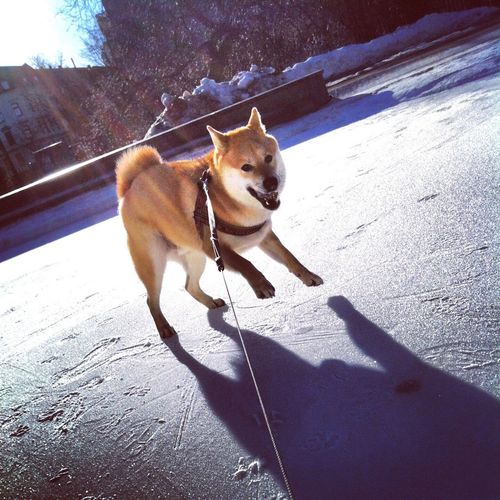 Glad hund i snön Shiba Shiba Inu Benji Benjiro Hund Hundar Malmö