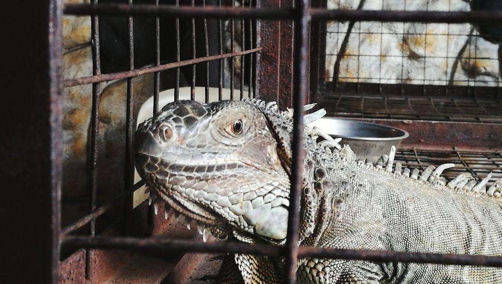 Iguana Animal Wildlife Animals In Captivity Reptile Photography