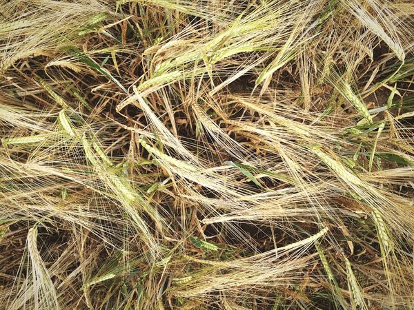 Field Grain Crops Corn Cereal Nature