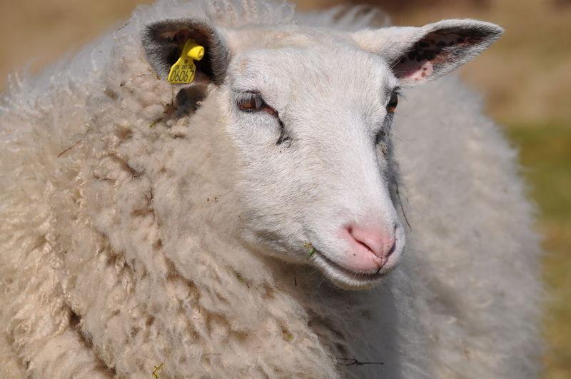 Animal Animal Family Animal Head  Close-up Focus On Foreground Gaze Mammal Outdoors Posing For The Camera Posing Sheep Sheep Young Animal The Portraitist - 2016 EyeEm Awards Wool