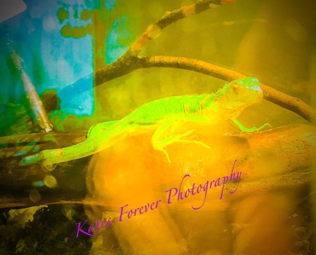 To rescue an animal is the greatest gift 💋💞💋 Greeniguana Rescued ❤ Lovemyozzy IPhoneography February 2016 Notes From The Underground Iphone6s Loveatfirstsight