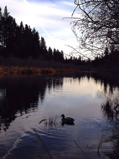 Deschutesriver  Reflection Ducks Inbend