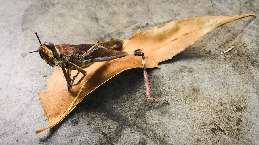 Close-up of grasshopper on dry leaf