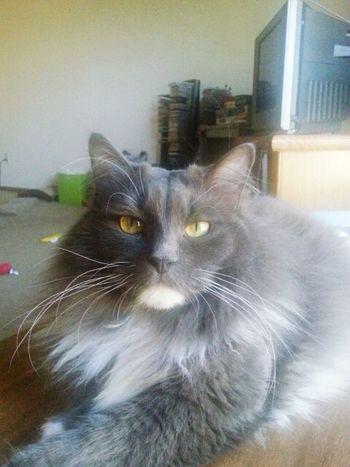 My cat Taking Photos Cats Of EyeEm Green Eyes Pet Photography  Check This Out Cute Cats Mycat♥ Animal Photography Catsoneyeem Catsofeyem