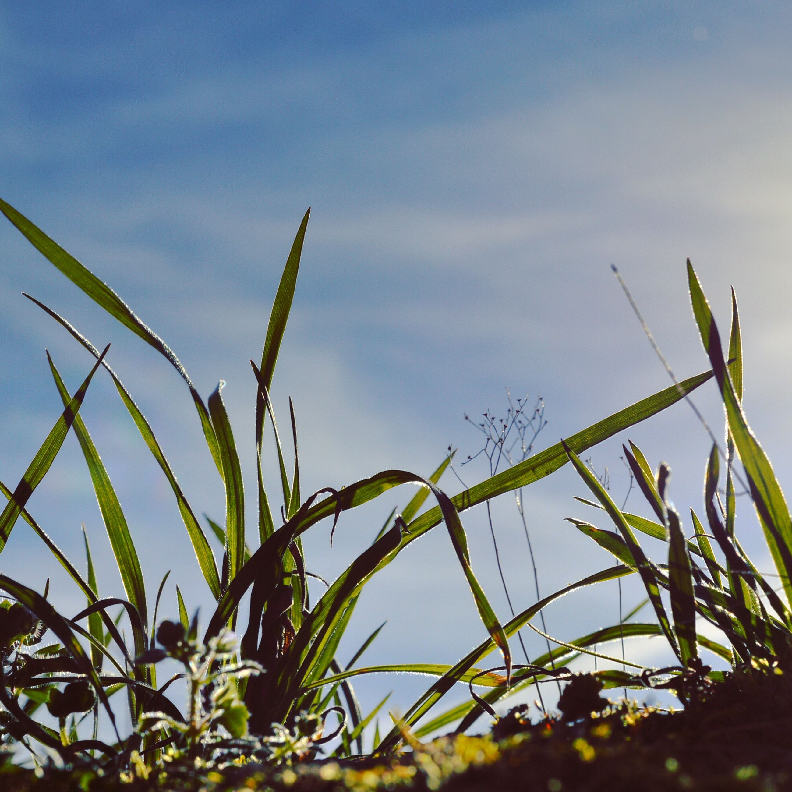 growth, plant, sky, low angle view, nature, leaf, beauty in nature, cloud - sky, growing, tranquility, cloud, stem, day, close-up, outdoors, green color, no people, field, blue, focus on foreground