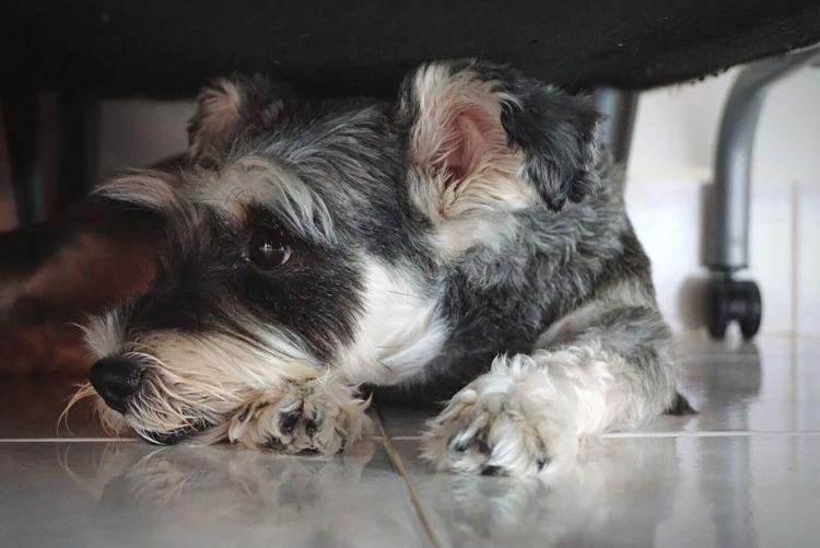 Pets Domestic Animals Mammal Animal Themes Indoors  One Animal Dog Schnauzer Schnauzerlove Schnauzerlife No People Close-up Day