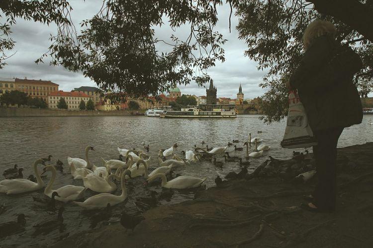 Woman Feeding Birds In Vltava River