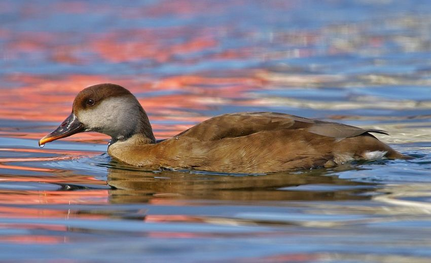 Fistione Turco F Fistione Turco Sony A7r2 Tamron 150 600 EyeEm Selects Bird Water Swimming Lake Reflection Close-up Water Bird Duck Duckling Freshwater Bird