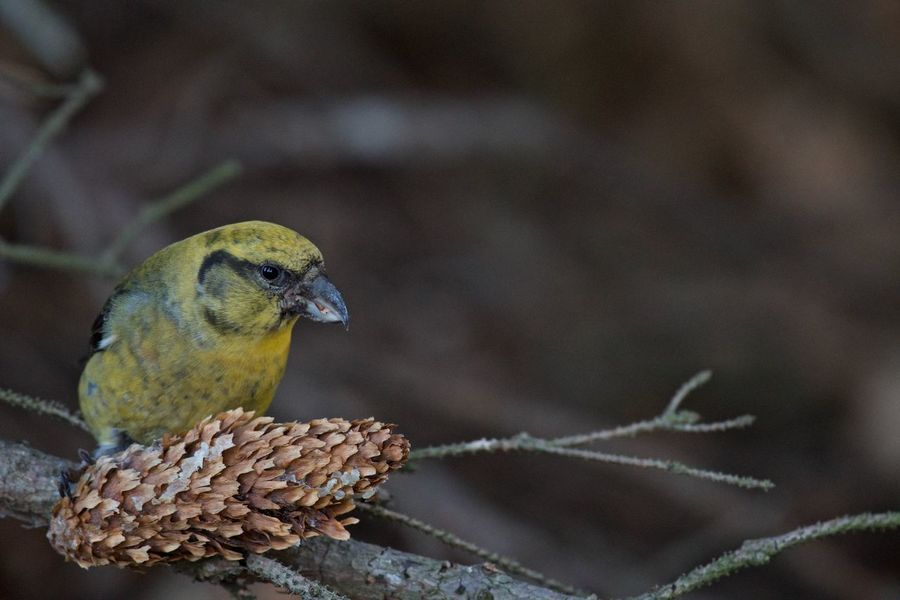 Female Eating Loxia Curvirostra Red Crossbill Female Animal Themes Animal Wildlife Animals In The Wild Beauty In Nature Bird Close-up Conifer Cone Day Focus On Foreground Nature No People One Animal Outdoors Perching