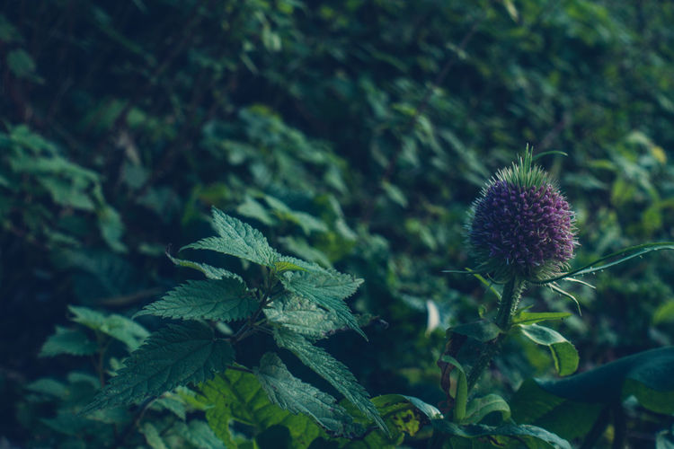 """💓😊""""Autumn is the spring of winter,"""" that's what I thought when I saw this pretty fresh thistle. To all friends, I wish a spring that never ends. take care of yourself Plant Green Color Nature No People Leaf Beauty In Nature Close-up Flower Outdoors Thistle Day Freshness Perspectives On Nature Winter Is Coming Capture The Moment EyeEm Gallery First Eyeem Photo Full Frame Low Light Light And Shadow EyeEm Selects Nature Purple Freshness Tranquility"""