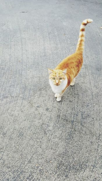 One Animal Animal Themes Domestic Cat Cat Domestic Animals Pets Mammal Feline Street Looking At Camera Whisker High Angle View Alertness Zoology Tail No People Animal Things I Look At Every Day Beauty