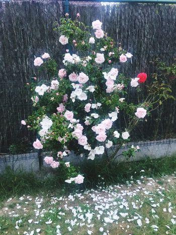 My Garden Roses Handmade SO PROUD OF MYSELF my lovely roses 😍