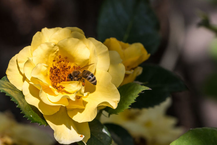Bee and yellow rose on the green field of the park Animal Themes Animal Wildlife Animals In The Wild Beauty In Nature Bee Close-up Day Flower Flower Head Fragility Freshness Growth Insect Nature No People One Animal Outdoors Petal Pollination Yellow