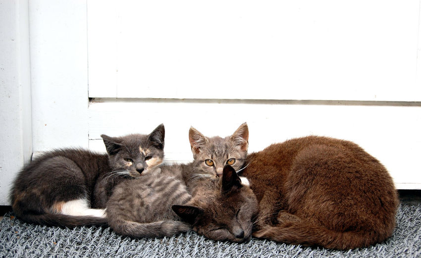 Animal Animal Family Animal Themes Cat Domestic Domestic Animals Domestic Cat Feline Group Of Animals Indoors  Looking At Camera Lying Down Mammal No People Pets Portrait Relaxation Resting Three Animals Togetherness Vertebrate Whisker