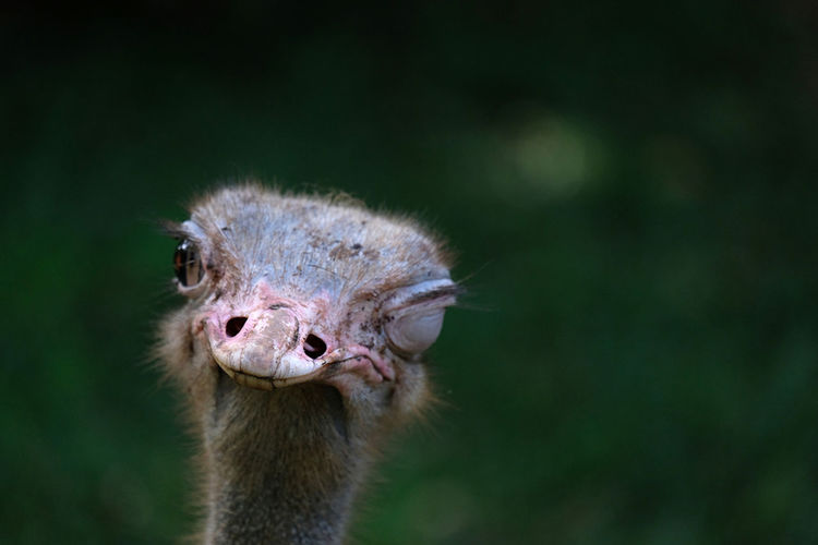 ostrich Animal Wildlife Close-up Herbivorous Animal Mouth Animal Neck Animal Eye Outdoors Mammal Nature Day Vertebrate Looking At Camera Focus On Foreground Bird No People Portrait Ostrich Animal Body Part Animals In The Wild One Animal