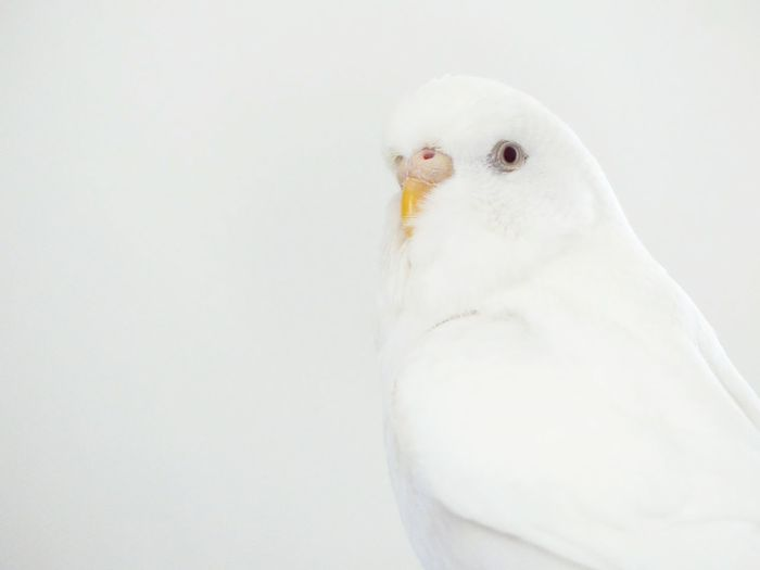 Close-up of pigeon over white background